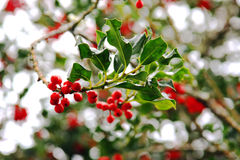 Holly in Winter royalty free stock image