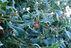 Holly in winter Royalty Free Stock Images