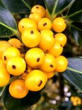 Holly with yellow berries Royalty Free Stock Photo