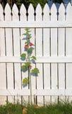 hollyhock загородки Стоковые Фотографии RF