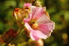 hollyhock Культивируемый цветок Стоковая Фотография
