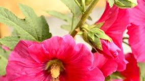 Hollyhock, макрос цветка акции видеоматериалы