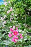 hollyhock цветеня Стоковая Фотография