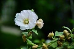 hollyhock цветеня Стоковые Фото