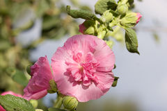 Hollyhock Royalty Free Stock Photo