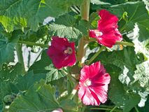 Hollyhock Fotos de Stock Royalty Free