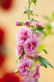 Hollyhock Image stock