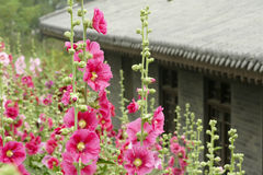 Hollyhock Royalty Free Stock Images