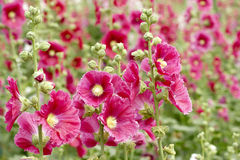 Hollyhock Stock Photos