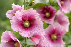 hollyhock Fotografia Royalty Free