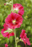 Hollyhock Stock Image