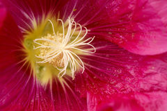 Hollyhock. The close-up of purple hollyhock(Alcea rosea) flower Royalty Free Stock Photo