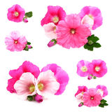 Hollyhock Royalty Free Stock Photography