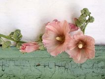 hollyhock Fotografia de Stock Royalty Free