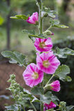 hollyhock Fotografie Stock