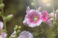 hollyhock Stockbilder