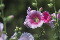 hollyhock Stockfotografie