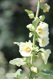 Hollyhock (Alcea) Royalty Free Stock Images