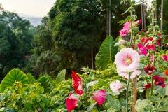 Hollyhock Alcea rosea flower. Close up of pink Hollyhock, Alcea rosea blossom on nature tree background Stock Image