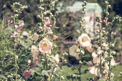 Hollyhock alcea rosea flowers in the garden Royalty Free Stock Photography