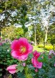 Hollyhock or  alcea rosea l. Royalty Free Stock Photos