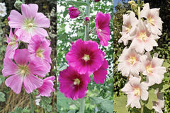 Hollyhock, alcea rosea Royalty Free Stock Photos