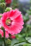 Hollyhock, Alcea rosea, Stock Photo
