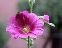 Hollyhock, Althaea rosea Stock Images