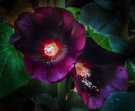Hollyhock. This beautiful mallow is a splendor for the garden Royalty Free Stock Images