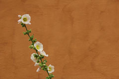 Hollyhock blanc contre le mur orange Photographie stock libre de droits