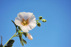 Hollyhock And Blue Sky. A single Hollyhock flower stands againt a light blue sky on a clear day Stock Photos
