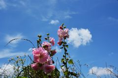 Hollyhock and blue sky. The landscape of Japan`s blue sky and hollyhock make me feel excited about the summer season and make my heart excite Royalty Free Stock Photos