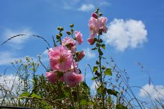 Hollyhock and blue sky. The landscape of Japan`s blue sky and hollyhock make me feel excited about the summer season and make my heart excite Royalty Free Stock Photography