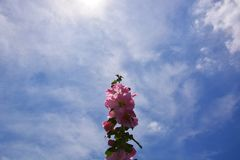 Hollyhock and blue sky. The landscape of Japan`s blue sky and hollyhock make me feel excited about the summer season and make my heart excite Stock Photo