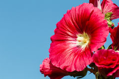 Hollyhock colorful flower red Royalty Free Stock Photography