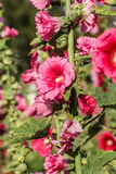 Hollyhock colorful flower red Stock Photo