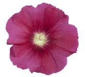 Hollyhock commun Image stock