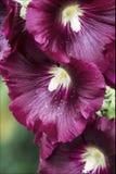 Hollyhock con las flores púrpuras Imagenes de archivo