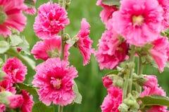 Hollyhock cor-de-rosa Imagem de Stock Royalty Free