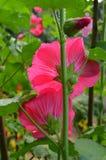 Hollyhock flower Stock Images