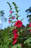 Beautiful of Hollyhock flower Stock Image