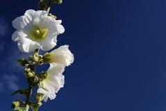 Hollyhock e céu azul Imagem de Stock Royalty Free