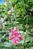 Hollyhock en fleur Photographie stock