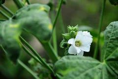Hollyhock en fleur Photos stock