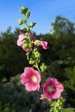Hollyhock en la floración Imagenes de archivo