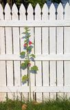 Hollyhock and Fence. A hollyhock and fence and grass with weeds and fallen leaves Royalty Free Stock Photos