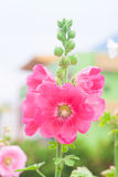 Hollyhock Flower Stock Photo