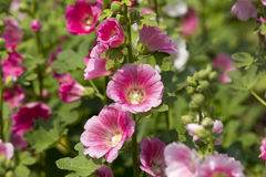 Hollyhock flower Stock Photography
