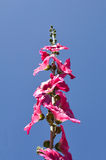 Hollyhock Flower - Alcea rosea on blue sky Royalty Free Stock Photography
