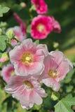 Hollyhock flower - Alcea rosea. In the garden Stock Photography